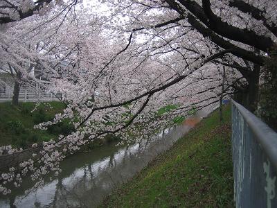 北区黒川の桜s