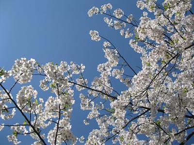 桜4月はじめs